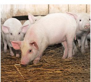 20140305Swine