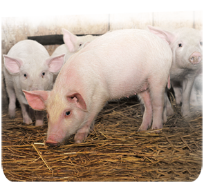 swine feed cost