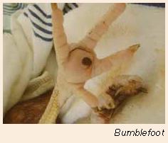 03_Bumblefoot